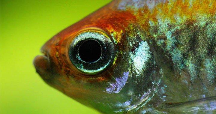 Świecik kongolański -  Phenacogrammus interruptus