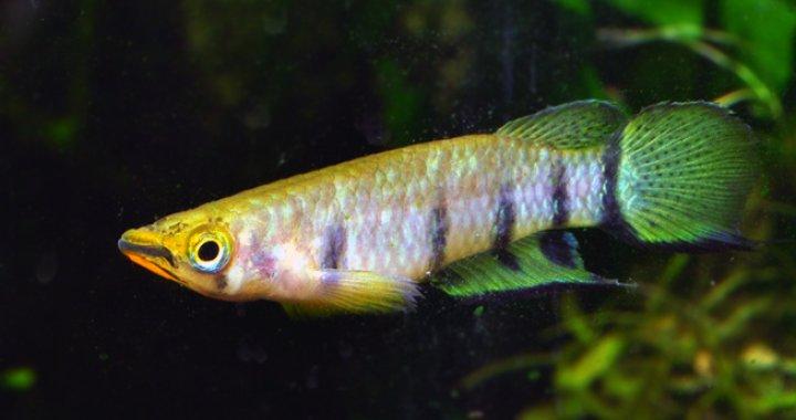 Szczupieńczyk Dageta, Szczupieńczyki Dageta - ryby