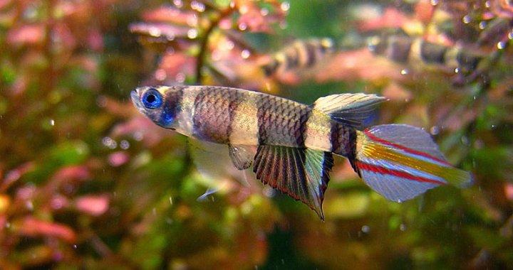 Szczupieńczyk Karłowaty, Szczupieńczyki Karłowate - ryby akwariowe