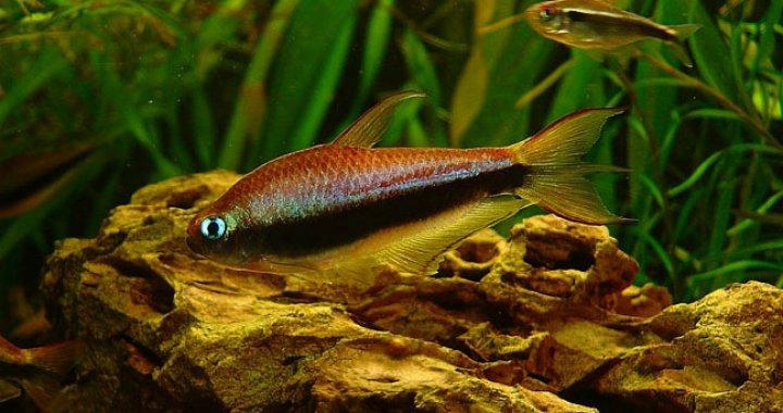 Tetra Cesarska - Tetry Cesarskie - ryby akwariowe