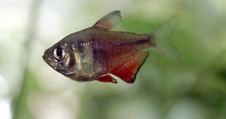 Tetra Czerwona, Bystrzyk Czerwony - ryba akwariowa