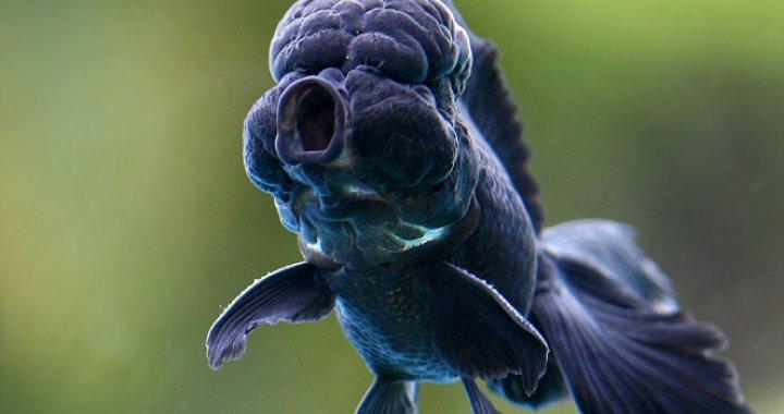 Złota rybka - welonka