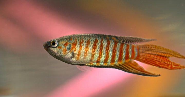 Wielkopletw wspanialy - Paradise fish