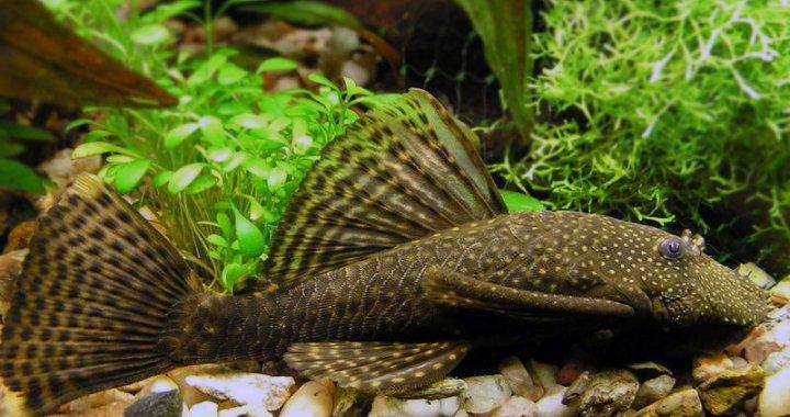 Zbrojnik pospolity - glonojad - ryba akwariowa