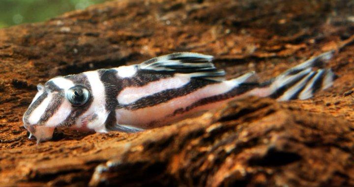 Zbrojnik zebra - ryba akwariowa