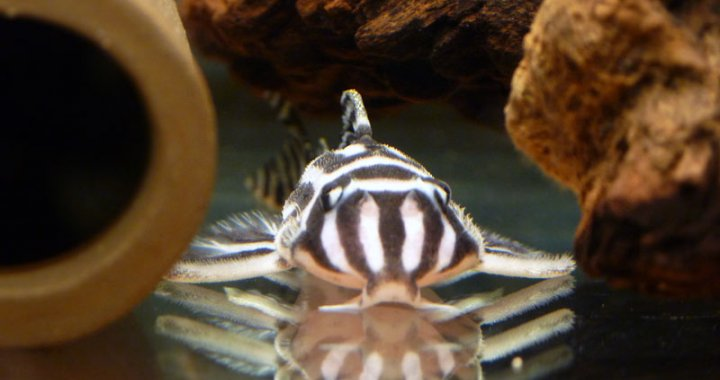 Zbrojnik zebra - Hypancistrus zebra