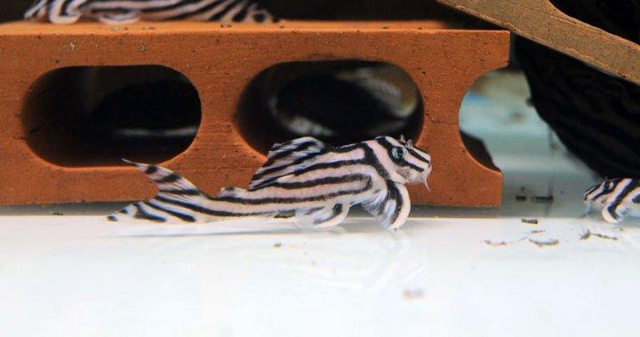 Zbrojniki zebry - Hypancistrus zebra