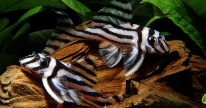 Zbrojniki zebry - ryby akwariowe