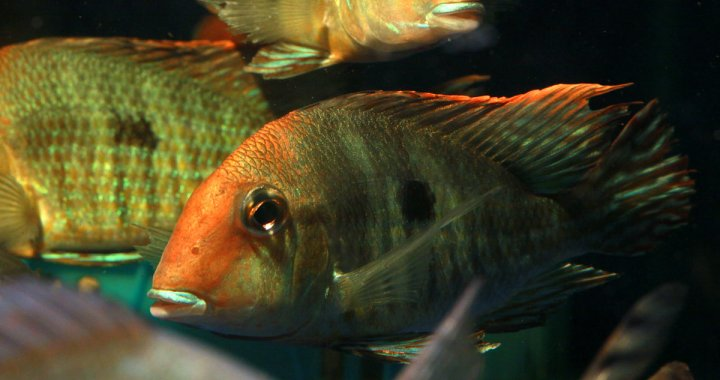 Geophagus sp. orange head