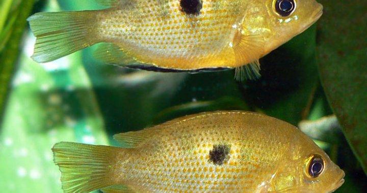 Żółtaczki indyjskie