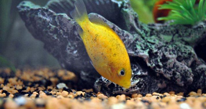 Żółtaczek indyjski