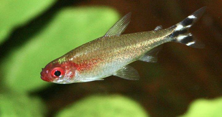 Zwinnik Blehera - ryba akwariowa, Zwinniki