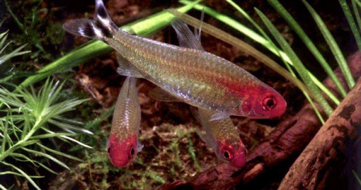 Zwinniki Blehera - ryby akwariowe, Zwinnik