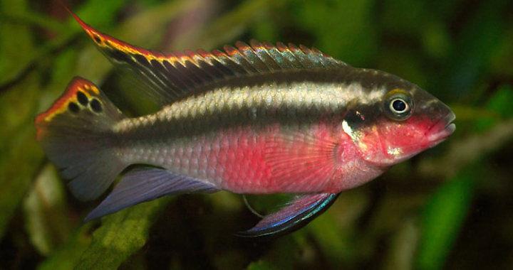 Barwniak czerwonobrzuchy - ryba akwariowa fot.aquapeixes.forumeiros.com