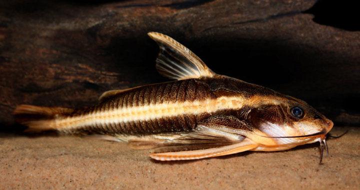 Platydoras armatulus - ryba akwariowa fot. flickr by Hakon