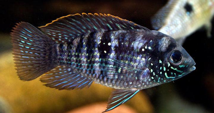 Akara błękitna - Andinoacara pulcher - ryba akwariowa fot. flickr by wigerl