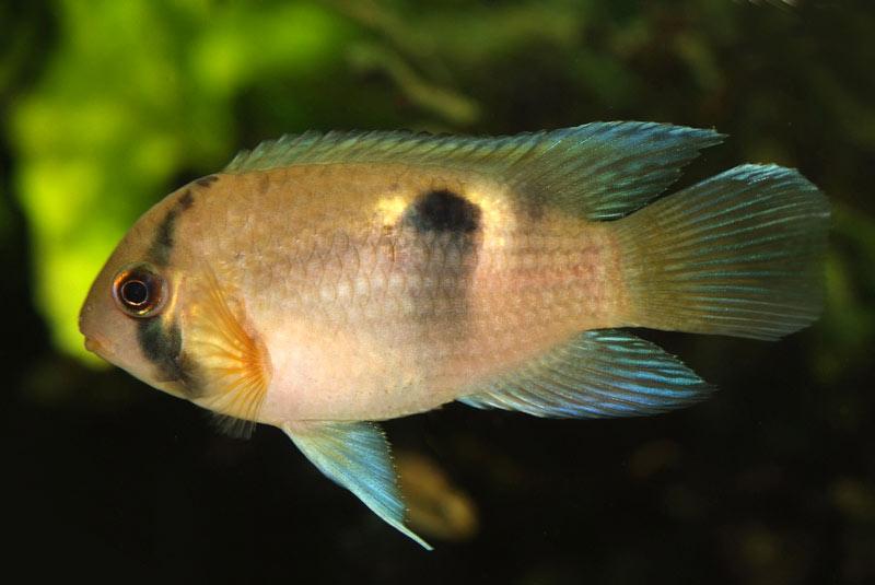 Akara z Maroni - ryba akwariowa