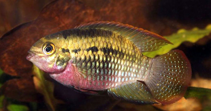 Akara wiśniowa - ryba akwariowa fot. ciklid.org