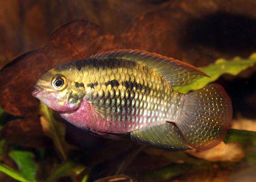 Akarka czerwonobrzucha - Laetacara dorsigera