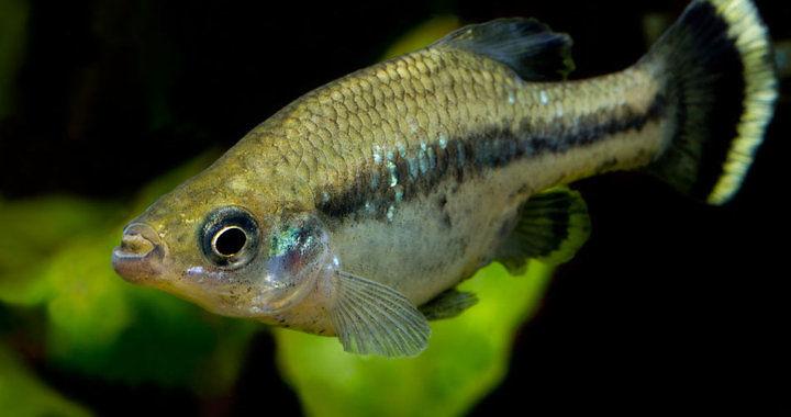 Ameka wspaniała - ryba akwariowa fot. lebendgebaerende.info by EW