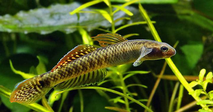 Babka tęczowa - ryba akwariowa fot. by Peter Macguire