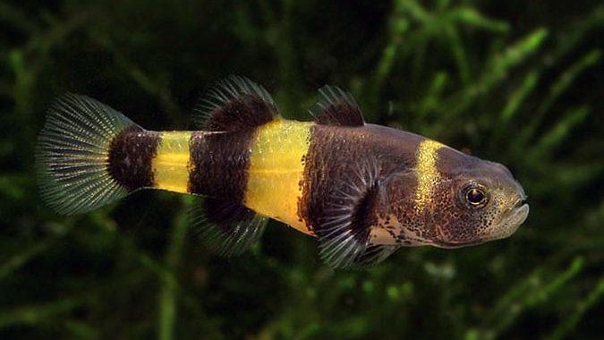 Babka złota (Brachygobius doriae) - ryba akwariowa fot. pecesornamentalesmarinodulce.blogspot.com