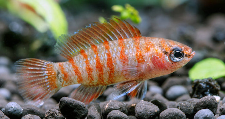 Badis bengalski - ryba akwariowa fot. flickr by cy1234