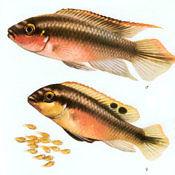 Barwniak czerwonobrzuchy - samiec, samica