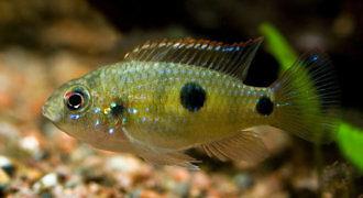 Barwniak Thomasa - ryba akwariowa fot. ciklid.org