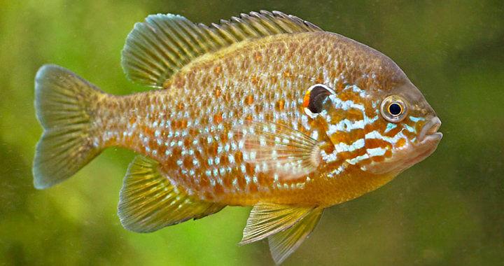 Bass słoneczny - ryba akwariowa fot. ravon.nl