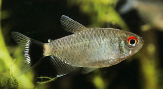 Błyszczyk parański - ryba akwariowa fot. PhotoShelter by Frank Hecker