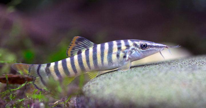 Bocja indochińska - ryba akwariowa fot. beke.co.nz by Robert Beke