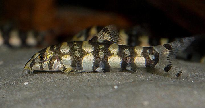 Botia Kubotai - ryba akwariowa fot. aquarium-lutter.de