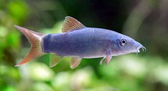 Bocja szara - Yasuhikotakia modesta fot. Robert Beke
