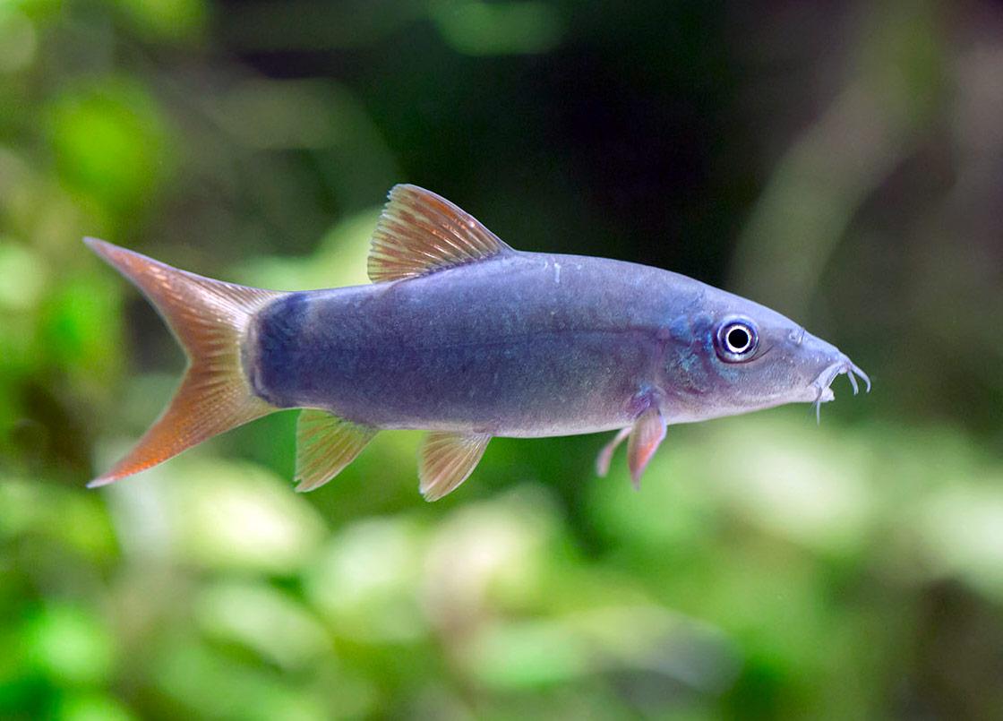 Bocja szara - ryba akwariowa