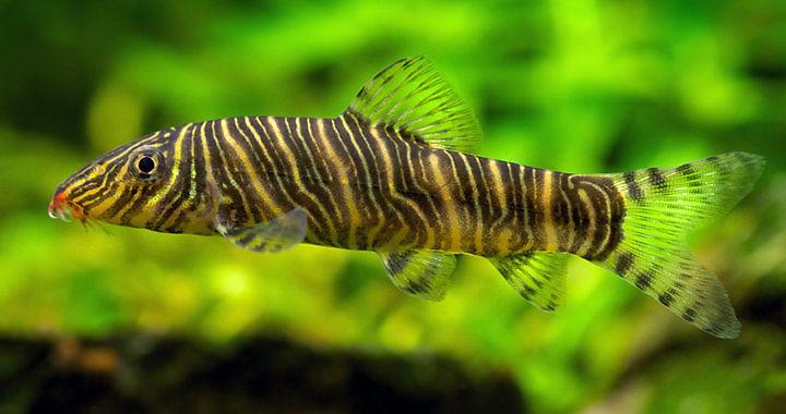 Bocja pręgowana (Botia striata) - ryba akwariowa fot. aquariophilie.org