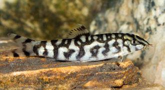 Bocja siatkowana - ryba akwariowa fot. flickr by Fábio Manfredini