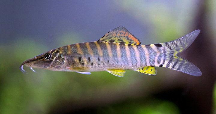 Bocja tygrysia - ryba akwariowa fot. Robert Beke