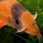 Bocja wspaniała - ryba akwariowa fot. aquasaur by Hristo Hristov