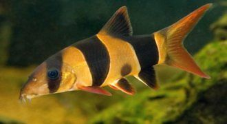 Bocja Wspaniała - ryba akwariowa fot.petsolutions.com