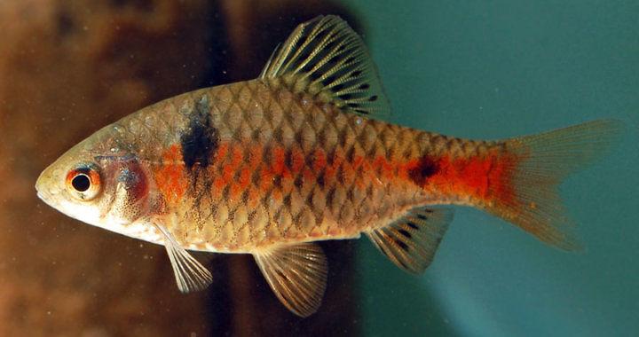Brzanka odeska - ryba akwariowa fot. flickr by Gary McKinney