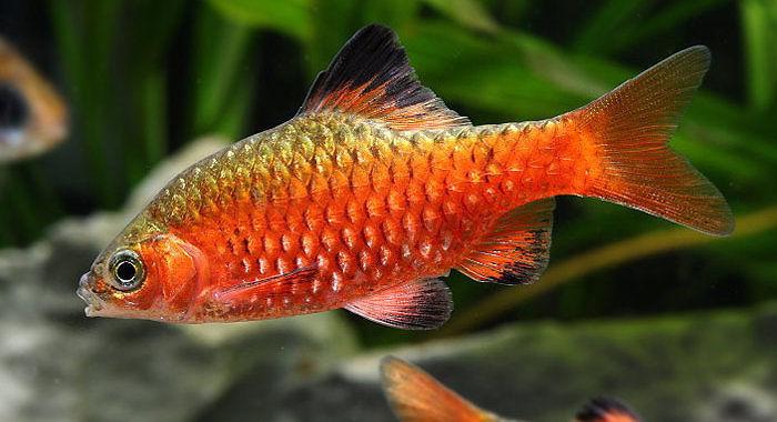 Brzanka różowa - ryba akwariowa fot.rb5killifish.blogspot.com by Jui-Pin Paul Wu