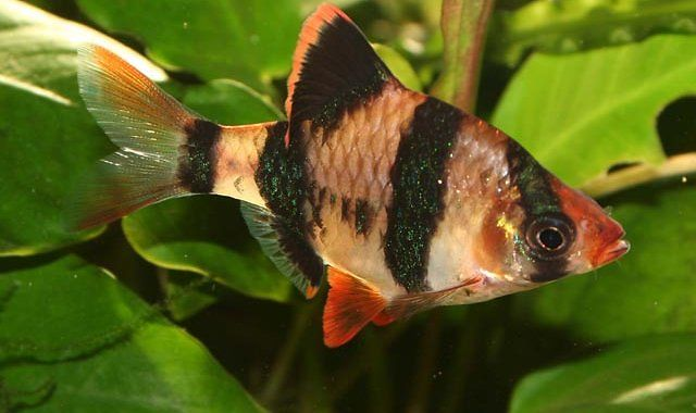 Brzanka Sumatrzańska - ryba akwariowa fot.seymourfish.com