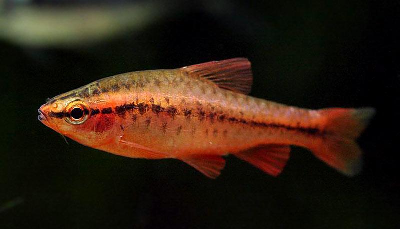 Brzanka wysmukła - ryba akwariowa
