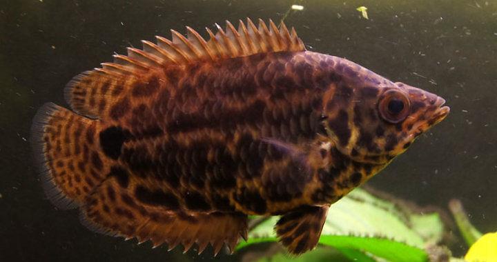 Buszowiec ostropyski - ryba akwariowa fot. flickr by Hampus Hertzman
