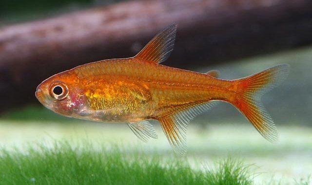Bystrzyk Amandy - ryba akwariowa fot.my-fish.org
