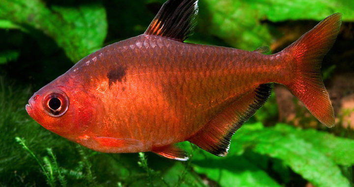 Bystrzyk barwny - ryba akwariowa fot. Nevertebrate.ro