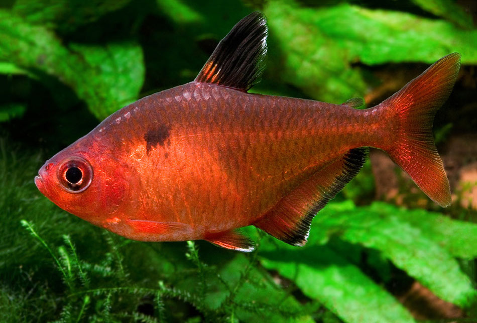 Bystrzyk barwny - Hyphessobrycon eques
