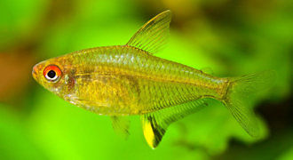 Bystrzyk cytrynowy – pięknopłetwy
