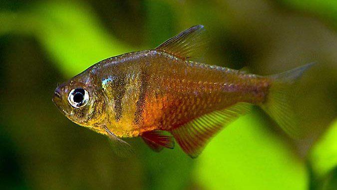 Bystrzyk Czerwony - ryba akwariowa